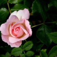 State Rose & Garden Show at Werribee Park this weekend